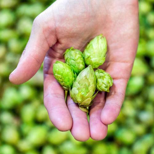 Hoppy Brewer_Fresh Hop Beer On Tap in Gresham-1